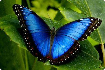 Le nom vernaculaire morpho ou morpho bleu peut désigner plusieurs espèces de papillons