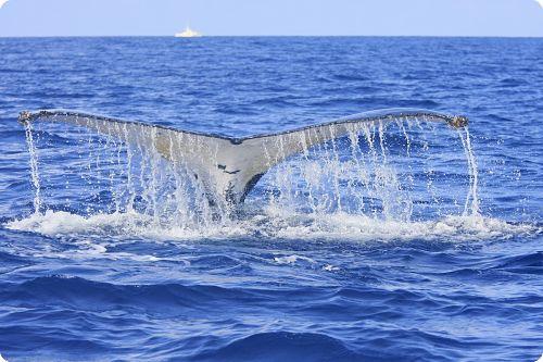 Sur les traces des baleines à bosse avec le projet WHERE