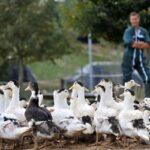 Grippe aviaire : un nouveau coup dur pour la filière du foie gras
