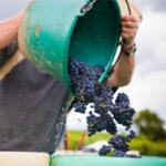 Le vignoble Français est-il menacé par le changement climatique ?